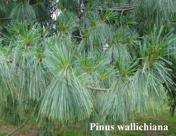 feuilles Pinus wallichiana