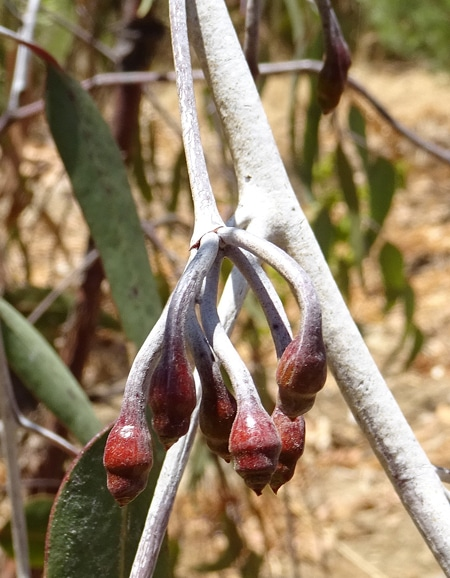 bourgeons floraux pruine blanche Eucalyptus caesia