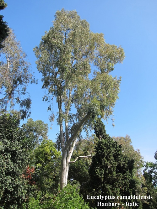 Eucalyptus camaldulensis Hanbury Italie
