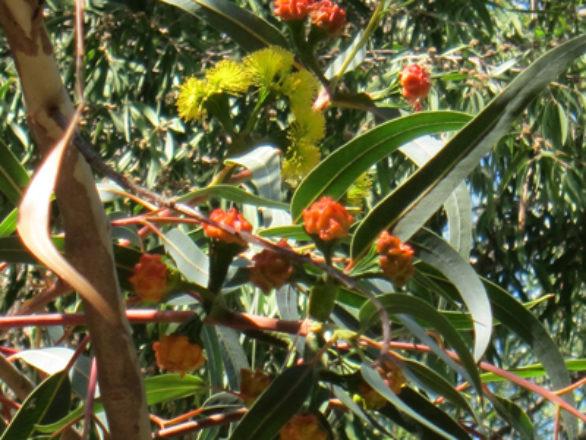 opercule rouge Eucalyptus erythrocorys