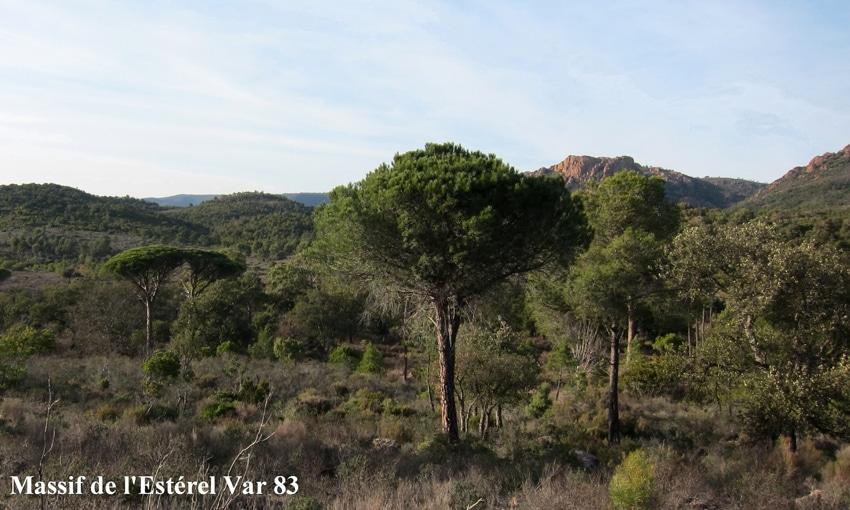 Pinus Massif de l'Estérel Var