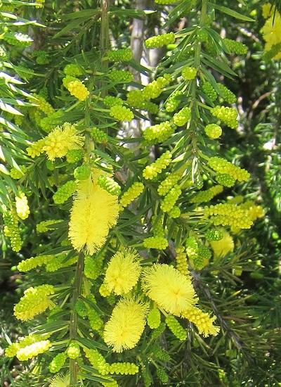 inflorescences en épis acacia