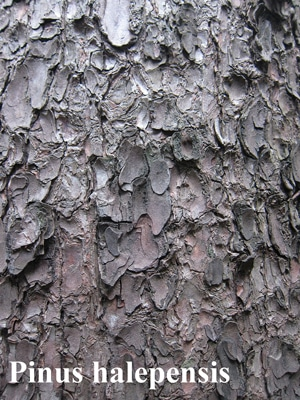 écorce Pinus halepensis