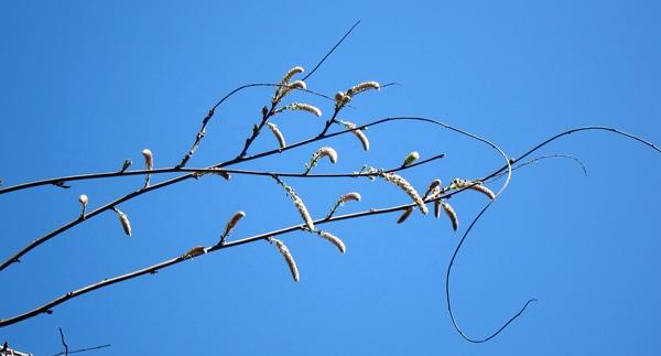 inflorescences glycine protégées par des bractées