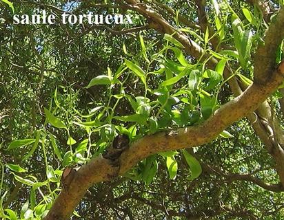 feuilles saule tortueux