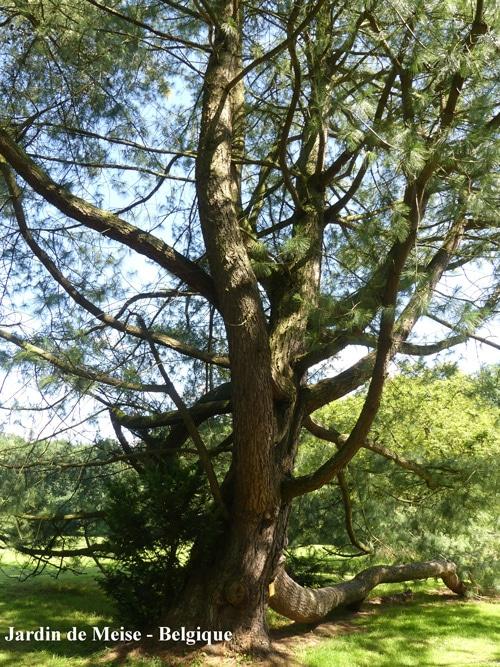 Pinus wallichiana Jardin de Meise