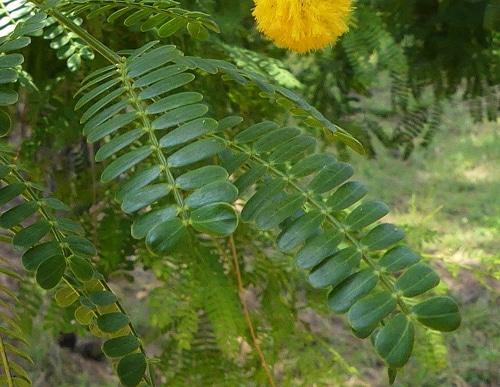 feuille bipennée Vachellia nilotica