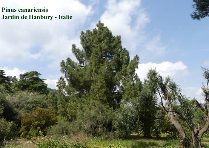 Pinus canariensis Hanbury Italie