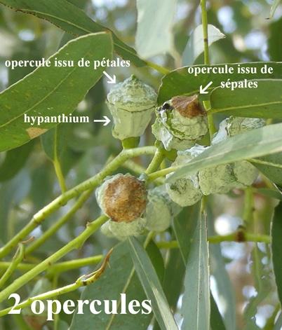 opercules Eucalyptus globulus