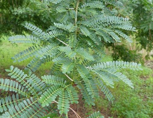 épines acacia égyptien
