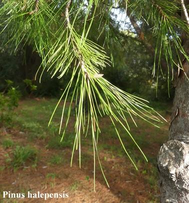 feuilles Pinus halepensis