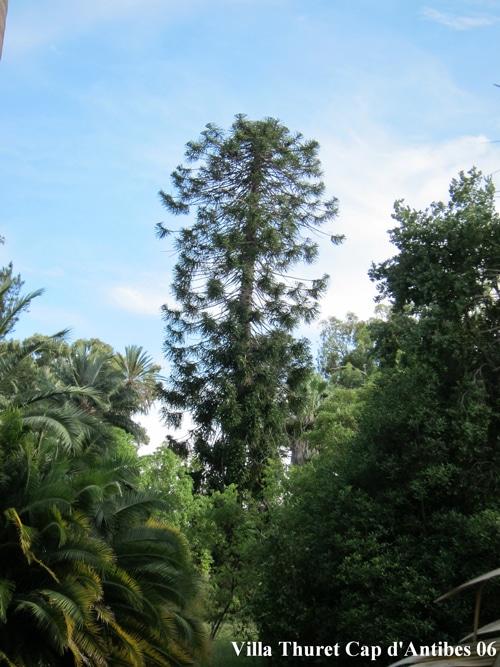 Araucaria bidwillii Villa Thuret Cap d'Antibes