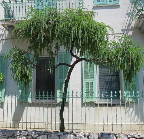Acacia vestita en Italie