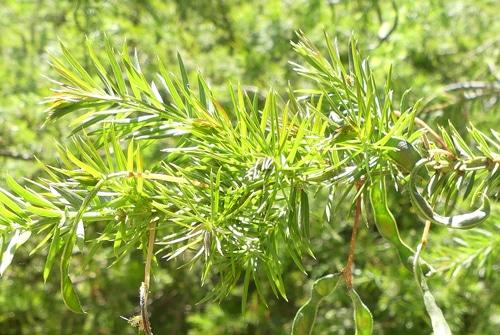 feuillage Acacia verticillata 1