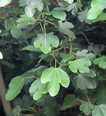 Feuilles Ficus carica