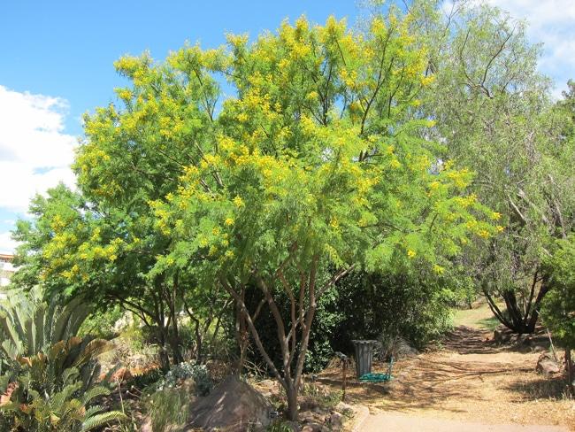 Vachellia karroo jardin botanique de Nice