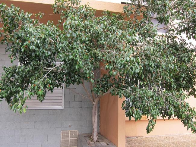 Ficus benjamina en fruits à Antibes