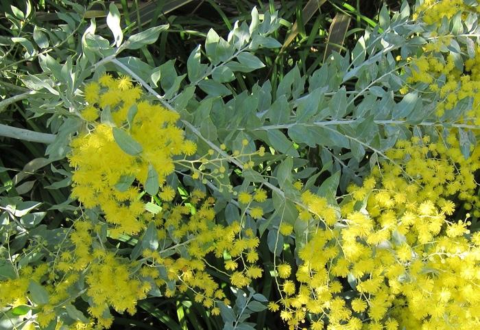 inflorescences Acacia podalyriifolia