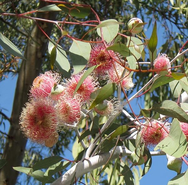 Inflorescences Eucalyptus caesia