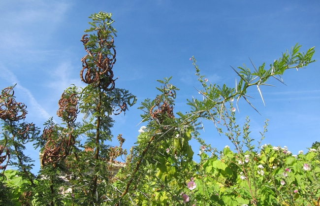 Vachellia karroo coulée verte Nice