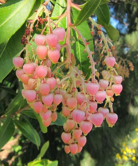 inflorescence cultivar d'arbousier