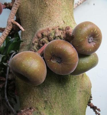 Figues du Ficus roxburghii