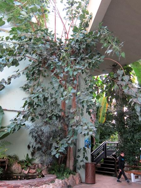 Ficus religiosa au parc Phoenix à Nice