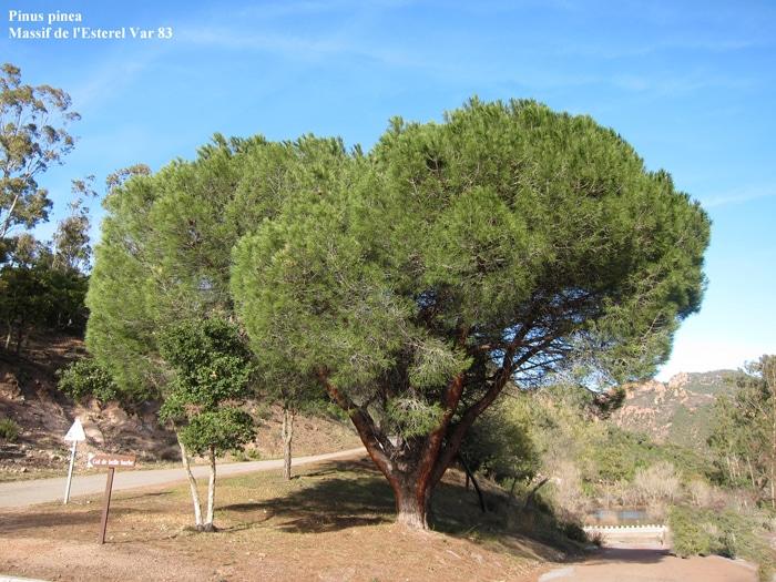 Pinus pinea Massif de l'Estérel Var