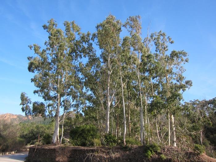 peuplement Eucalyptus Agay Var