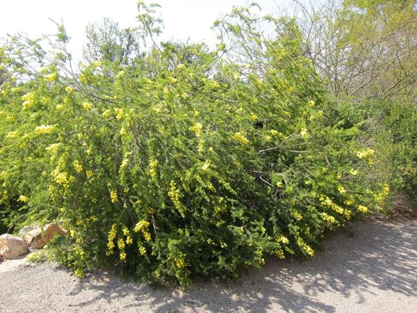 Acacia verticillata jardin botanique de Nice