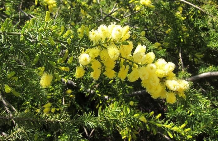 inflorescences Acacia verticillata