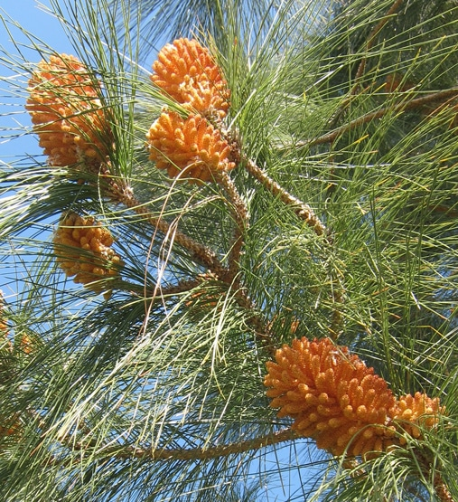 strobiles mâles Pinus canariensis