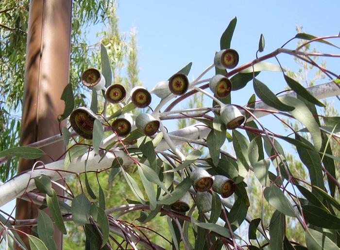 capsules Eucalyptus caesia