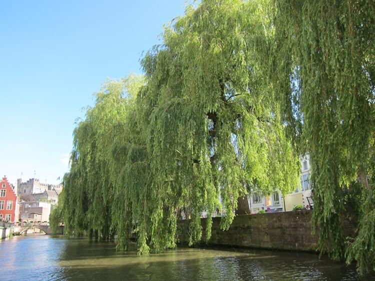 saules pleureurs à Gand Belgique