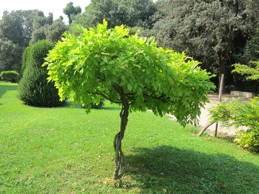glycine en arbuste