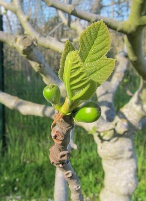 émergence feuilles et figues Ficus carica