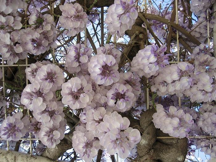 glycine en fleurs