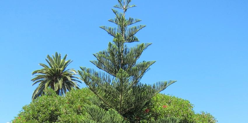 cime Araucaria heterophylla