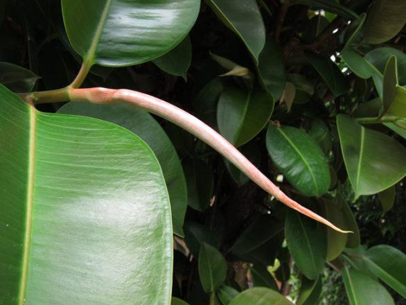 stipule Ficus elastica