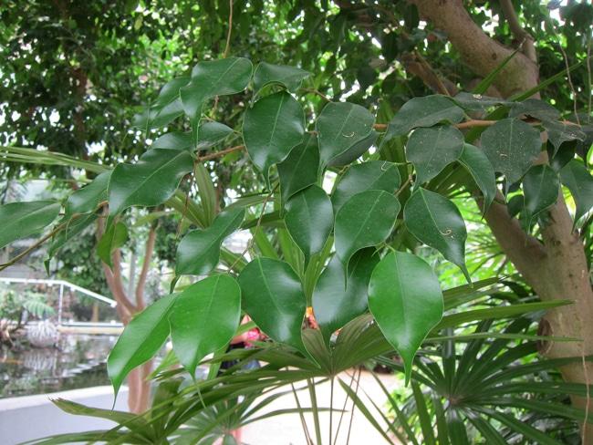 feuilles figuier pleureur
