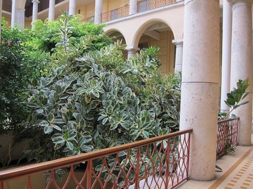 Ficus elastica 'variegata' à Nice
