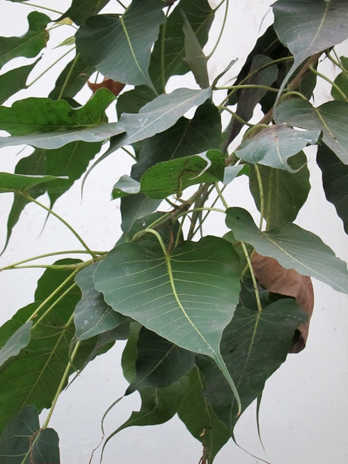 feuilles arbre de la Bodhi