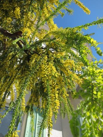 floraison Acacia vestita