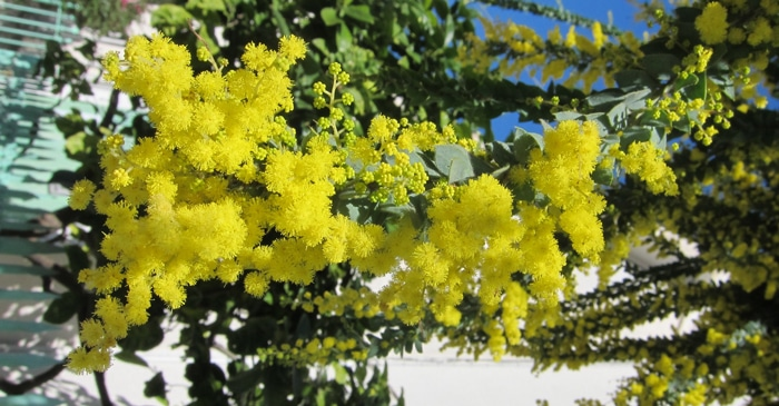 glomérules Acacia vestita