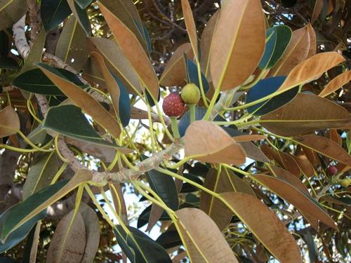 feuilles et figues Ficus macrophylla