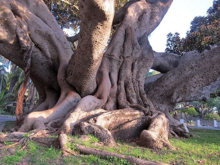 Ficus macrophylla Bordighera Italie