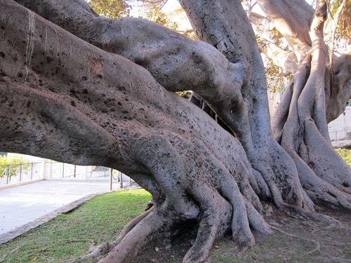 tronc du Ficus macrophylla