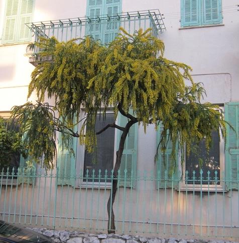 Acacia vestita fleuri en janvier Italie