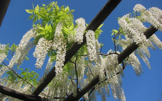 fleurs de glycine à Hanbury