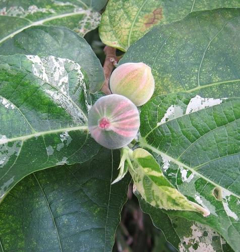 Figues du Ficus aspera 'variegata'